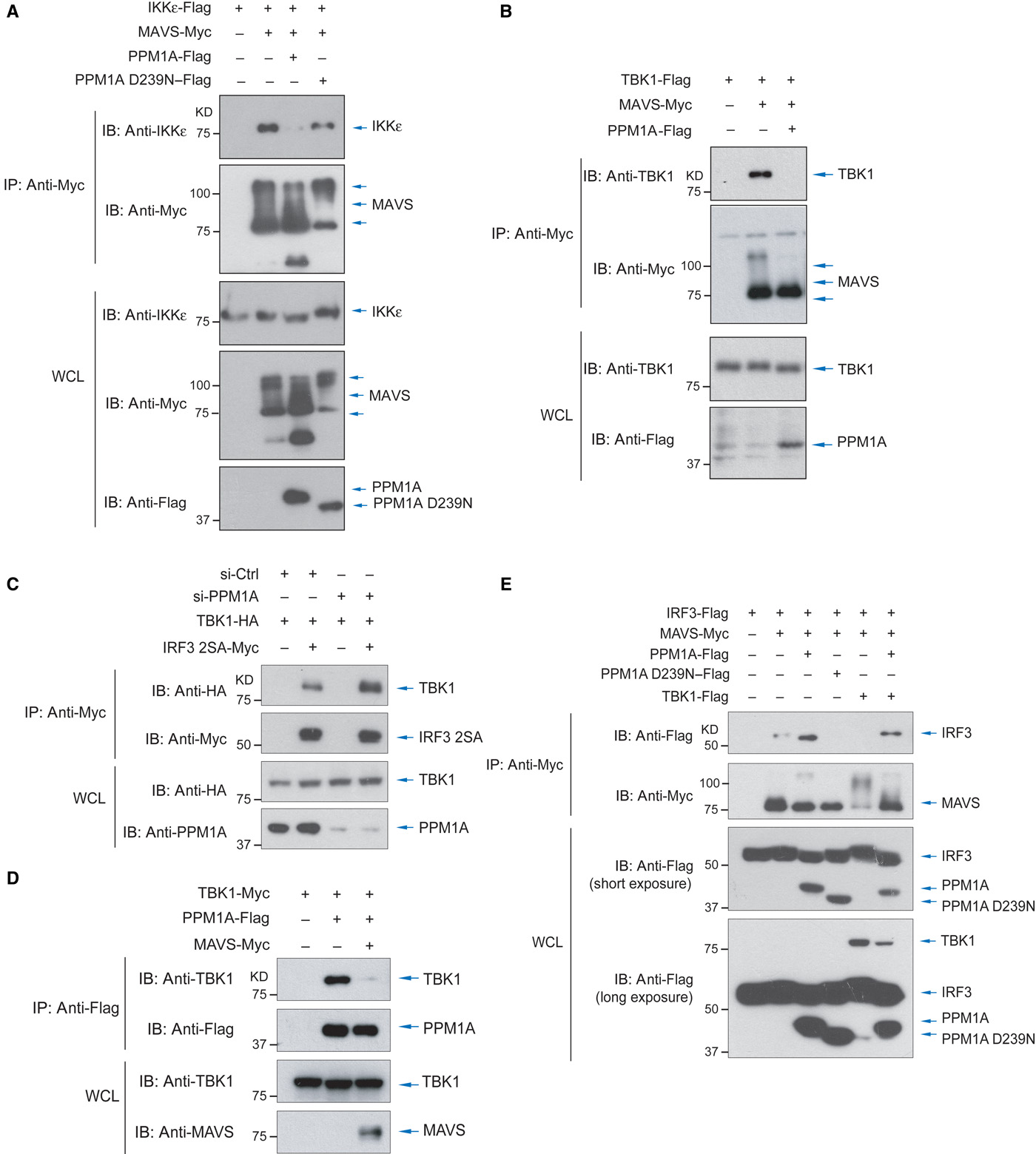 Activation of Autophagy by α Herpesviruses in Myeloid Cells Is